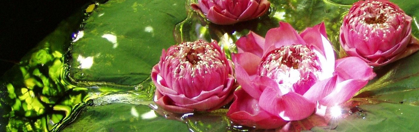Water lily lotus flower by Kat Spence